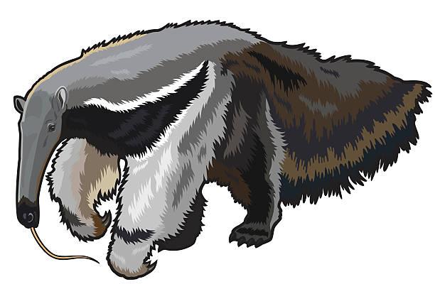 giant anteater giant anteater,myrmecophaga tridactyla,wild animal of amazon rain forest,image  isolated on white background Giant Anteater stock illustrations