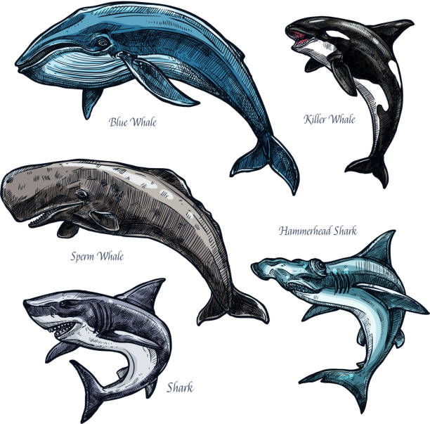 Giant sea animals whale and shark vector icons set Whales and sharks icons set of blue and killer whale or orca, hammerhead shark and sperm whale or cachalot. Isolated sketch of ocean giant predatory marine animals or mammal fishes killer whale stock illustrations