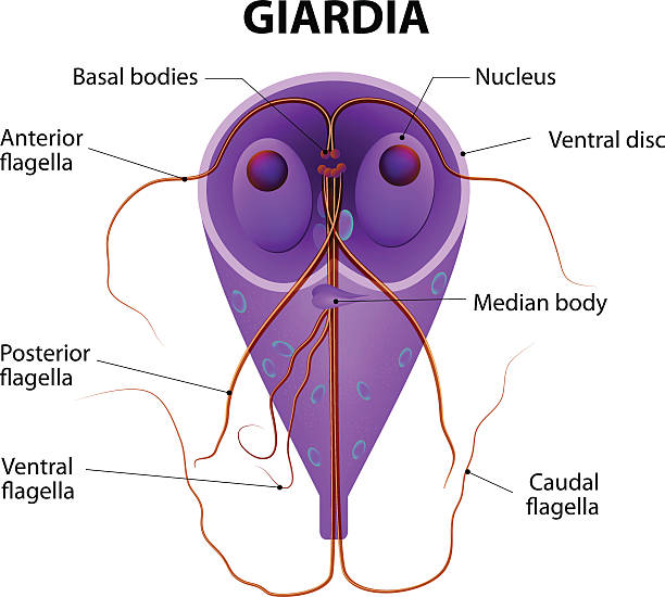 giardia worms in humans