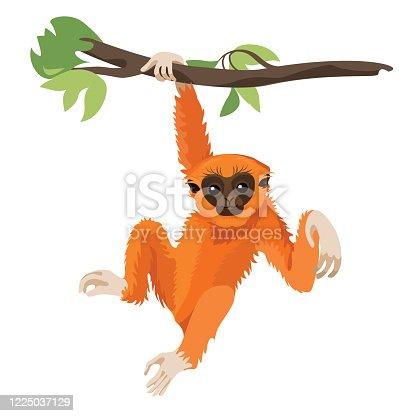 Gibbon primate mammal. Monkey in wildlife. Vector illustration