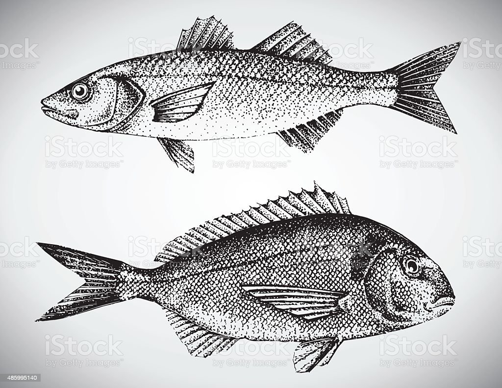 Gilt head and sea bass vector illustration vector art illustration