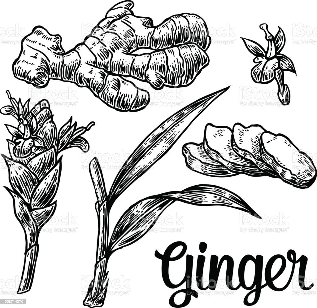 Ginger. Root, root cutting, leaves, flower buds, stems. Vintage retro vector illustration for herbs and spices set. vector art illustration