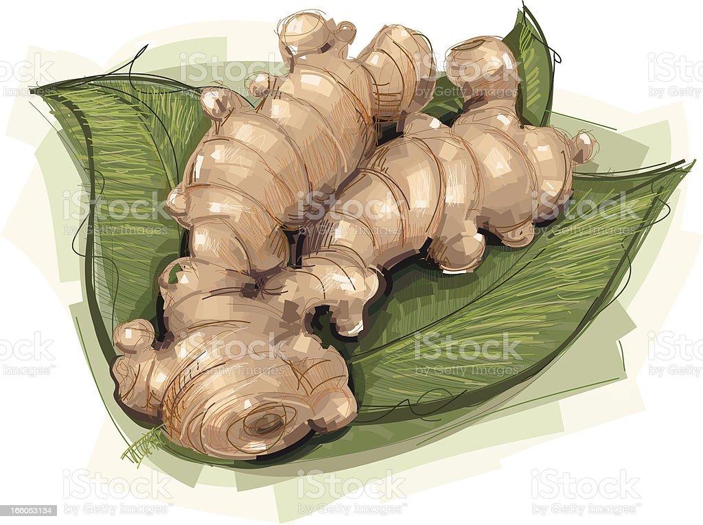 Ginger Root vector art illustration