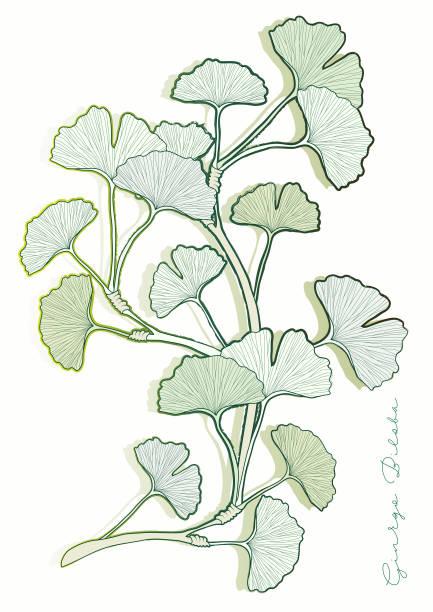 ginkgo biloba leaves - fossilized leaves stock illustrations