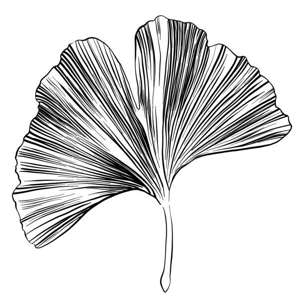 Ginkgo Leaf Sketch Vector Illustration Ginkgo Leaf Sketch Vector Illustration ginkgo stock illustrations