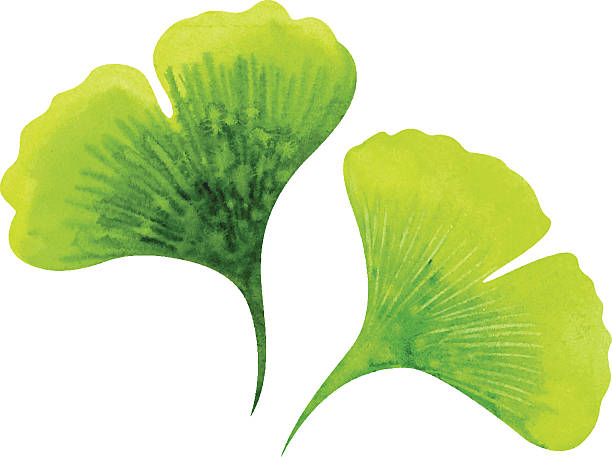 Ginkgo leaves Ginkgo leaves. Watercolor vector illustration ginkgo stock illustrations
