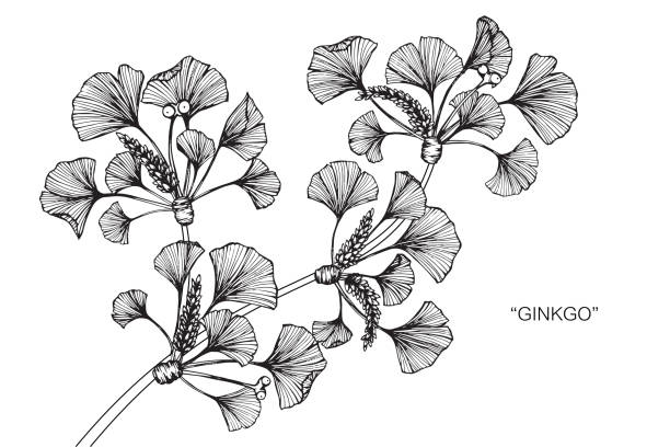Ginkgo tree drawing. Hand drawing and sketch Ginkgo tree. Black and white with line art illustration. ginkgo stock illustrations