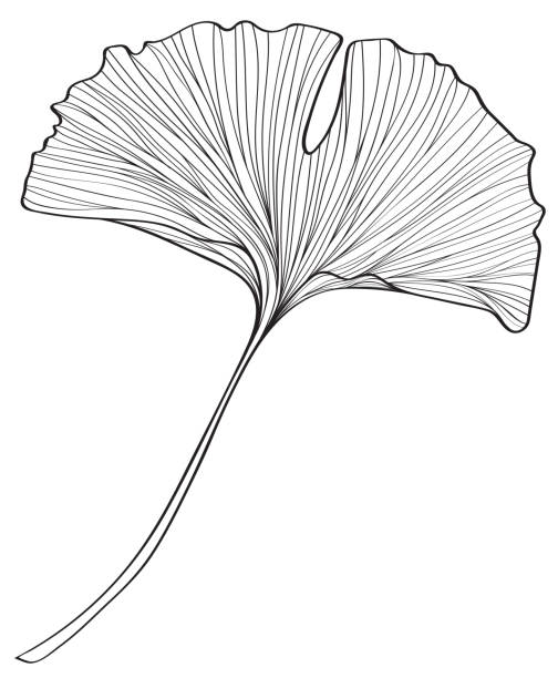 Ginkgo Plants ginkgo stock illustrations