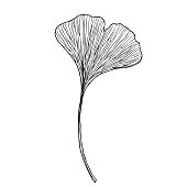 A ginko biloba leaf on a white background, thin lines. Design for logo and wedding illustration. Black and white vector illustration.