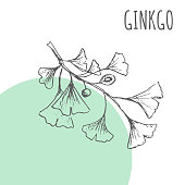 Ginko leaf vector sketch botanical herb spice for Ginko aroma essential oil or herbal tea package