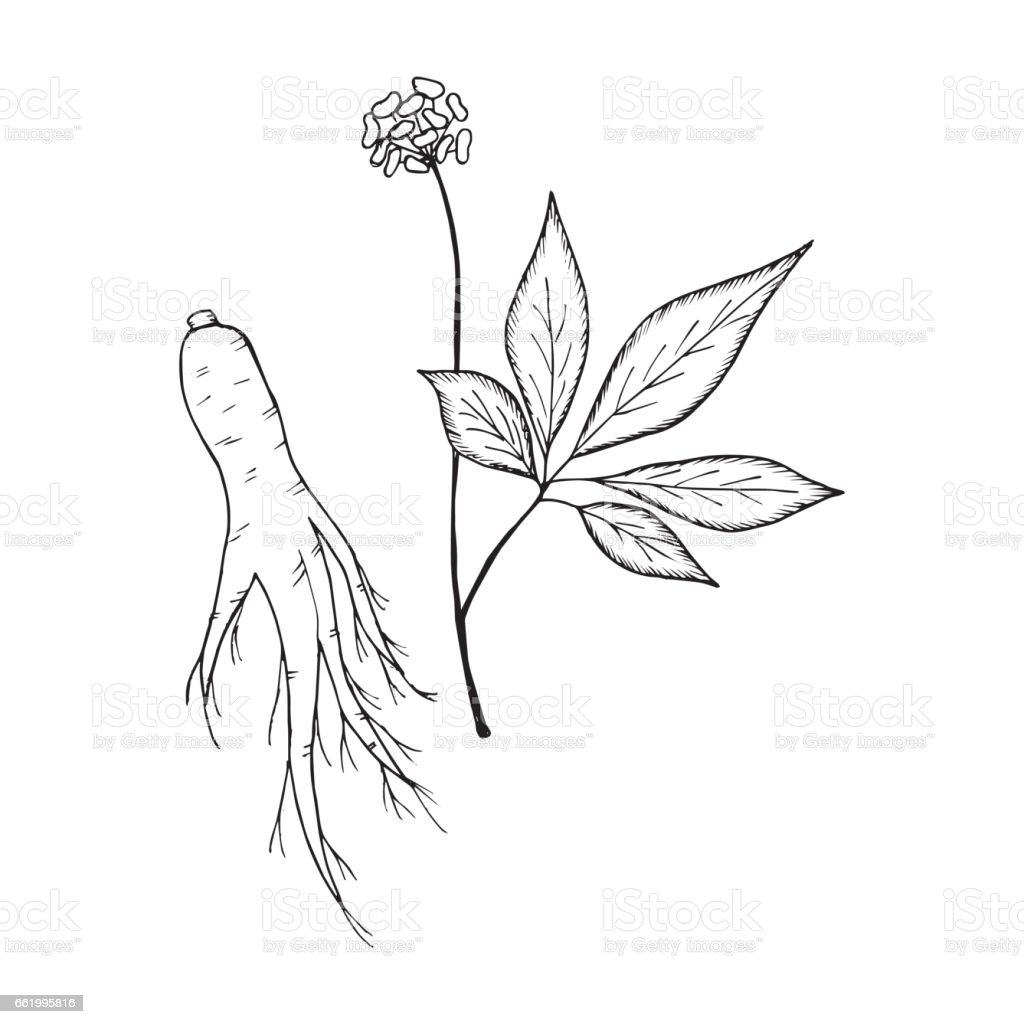 ginseng 2 royalty-free ginseng 2 stock vector art & more images of ancient