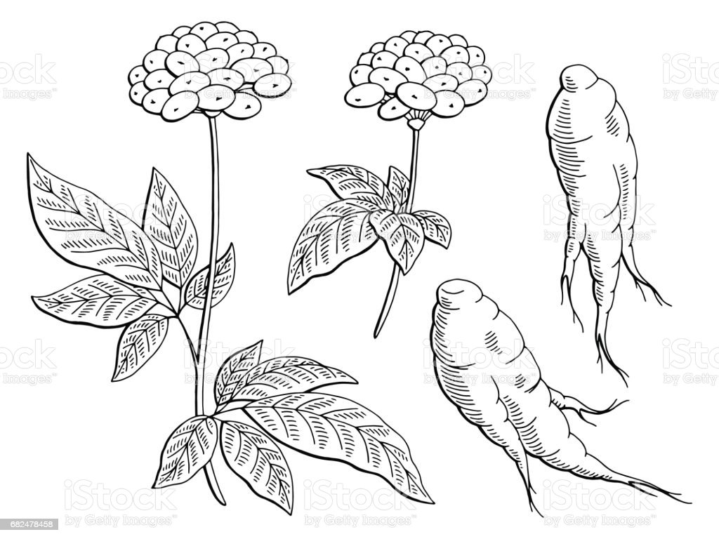 Ginseng graphic black white isolated sketch illustration vector royalty-free ginseng graphic black white isolated sketch illustration vector stock vector art & more images of berry