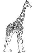 Cute baby giraffe drawing, funny cartoon vector character illustration for children.