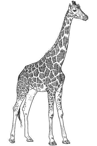 Giraffe Drawing Stock Illustration Download Image Now