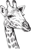 Black and white vector line drawing of a Giraffe's face
