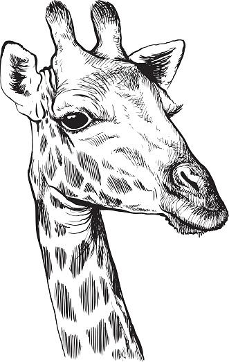 Giraffe Sketch Stock Illustration - Download Image Now ...