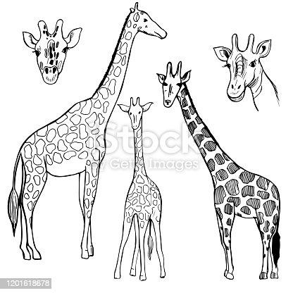 Hand drawn  giraffe. Vector sketch  illustration.
