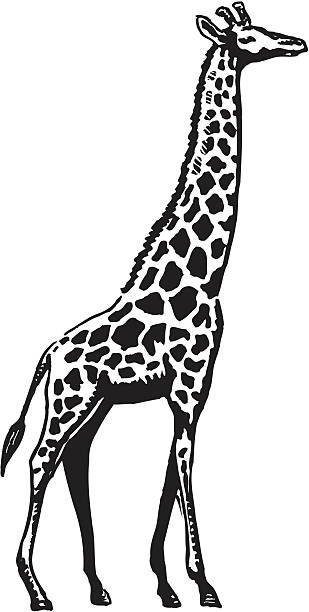 Royalty Free Giraffe Black And White Clip Art Vector Images