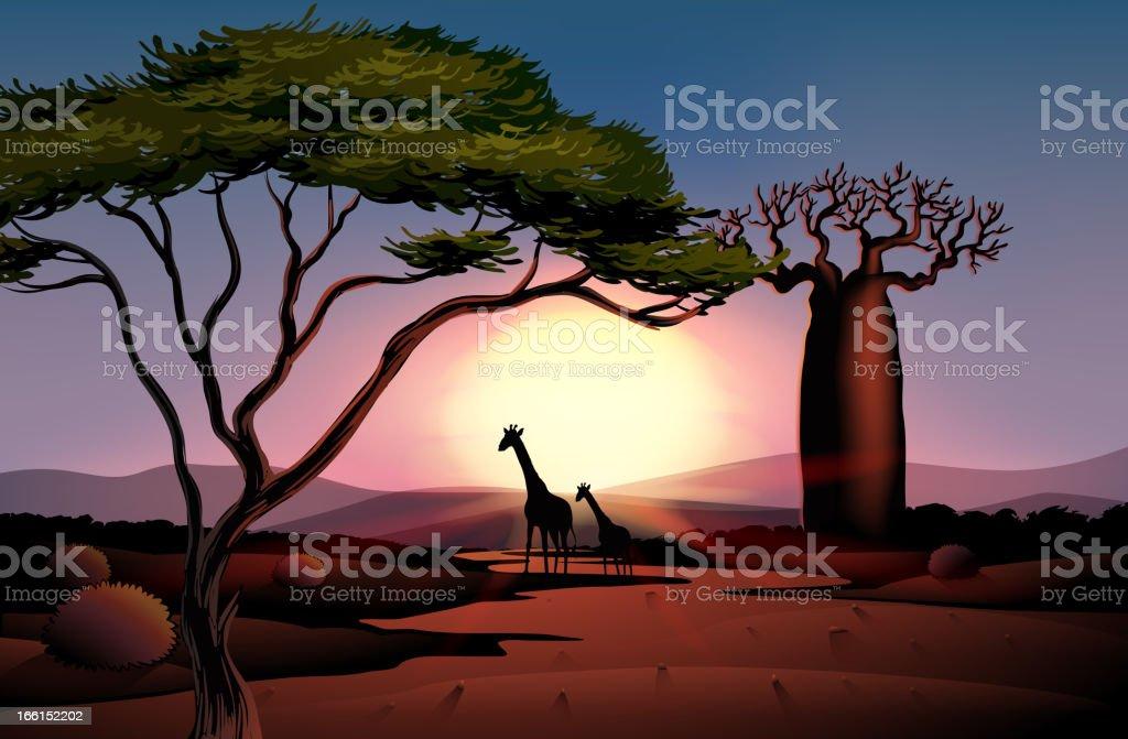 Giraffes in the dessert royalty-free stock vector art