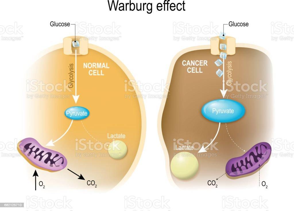 glycolysis. Warburg effect vector art illustration