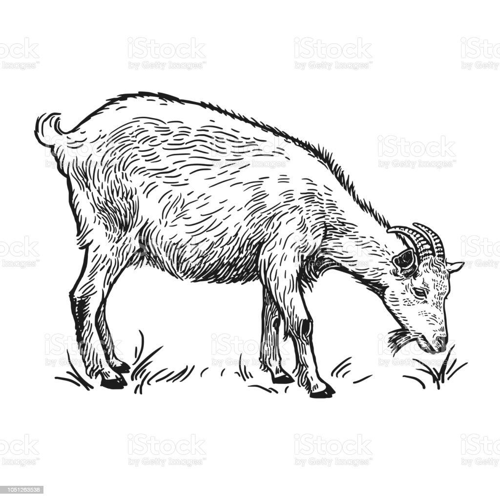Goat Farm Animal Isolated Realistic Handmade Drawing Stock