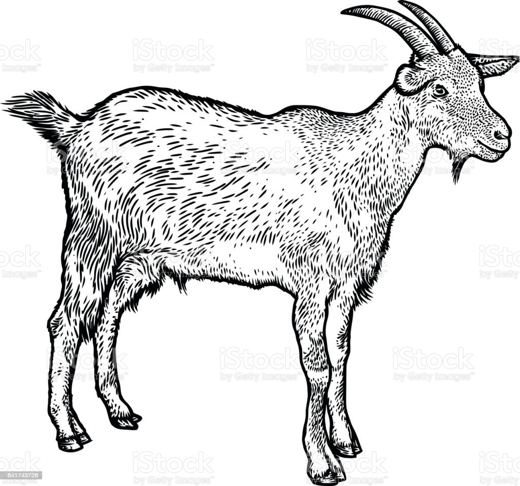 Goat Illustration Drawing Engraving Line Art Realistic Royalty Free