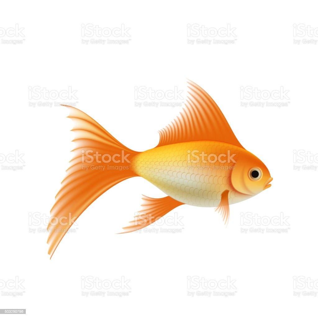 Gold aquarium fish vector art illustration