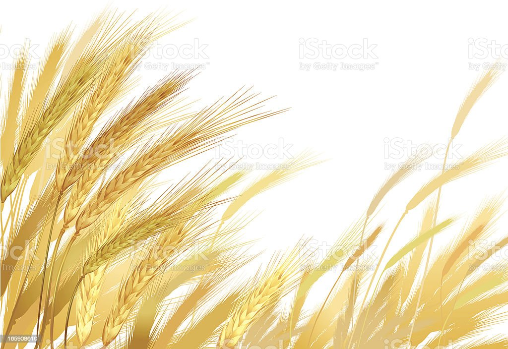 Gold Wheat royalty-free stock vector art