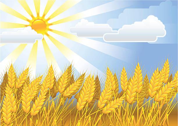 ilustraciones, imágenes clip art, dibujos animados e iconos de stock de campo dorado - straw field