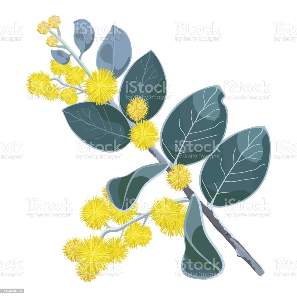 Golden Flowering Wattle Tree Vector Illustration vector art illustration