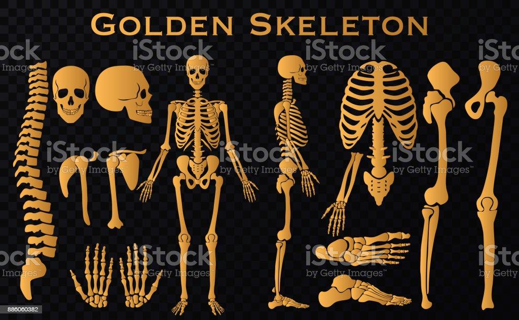 Colección De Silueta De Esqueleto Huesos Humanos Lujo Oro Establece ...