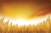 Golden wheat or grain growing healthy with sunset