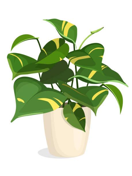 Golden Pothos plante - Illustration vectorielle
