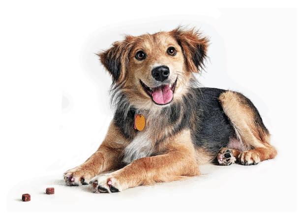 ilustrações de stock, clip art, desenhos animados e ícones de golden retriever, collie mixed breed dog hoping to be adopted - dog food