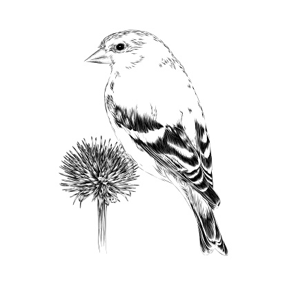 Goldfinch on Echinacea Flower. Drawn in Pen and Ink. EPS10 Vector Illustration