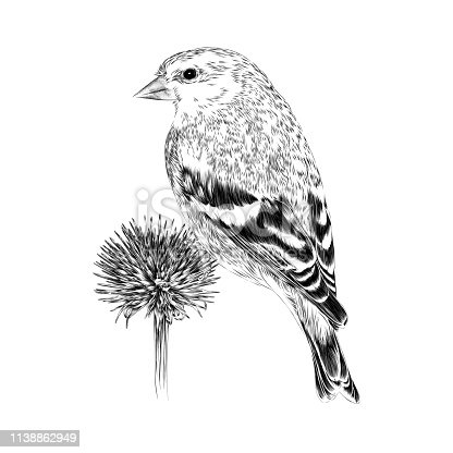Goldfinch on Dried Echinacea Vector Illustration in Engraving Style