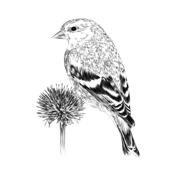 Goldfinch Vector Illustration in Engraving Style Goldfinch on Dried Echinacea Vector Illustration in Engraving Style finch stock illustrations