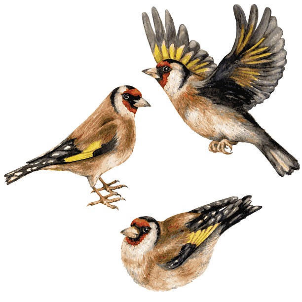 Goldfinches Watercolor image of flying, sitting and walking goldfinches isolated on white background. gold finch stock illustrations