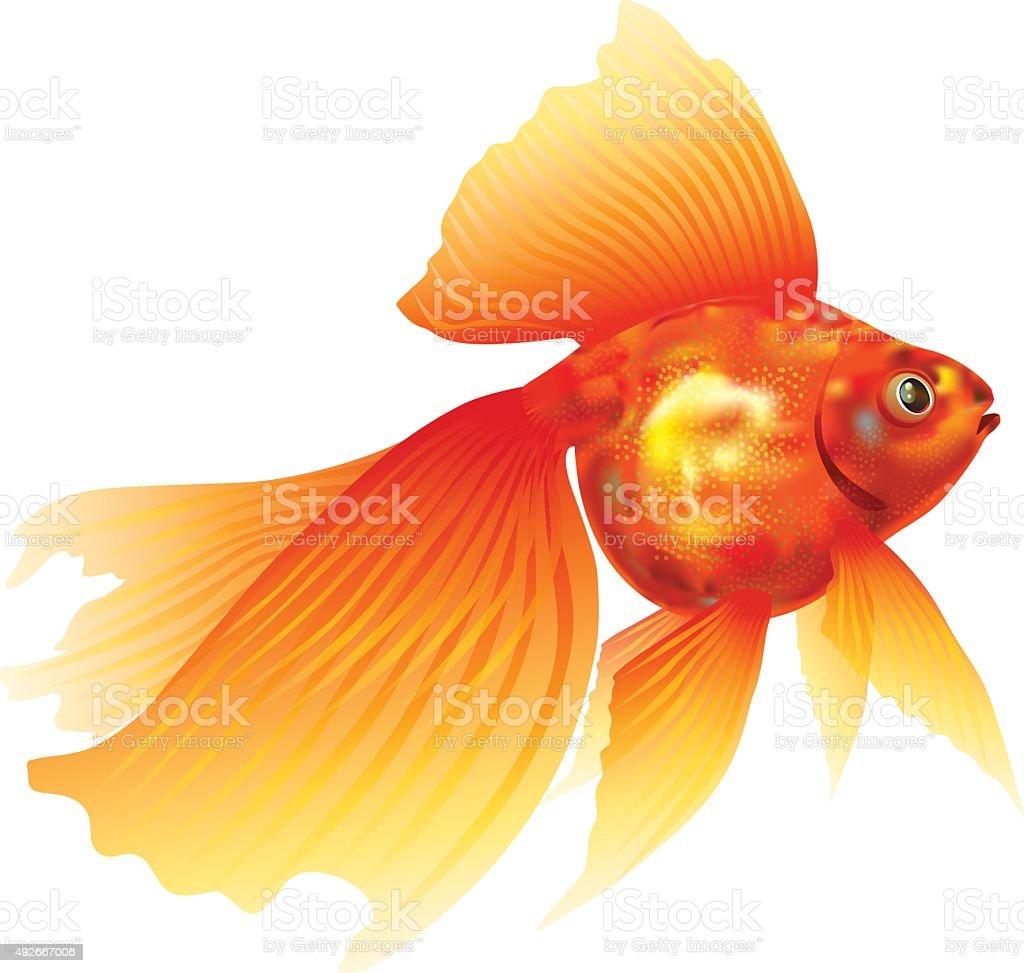 Goldfish. Gold fish.Veiltail. vector art illustration