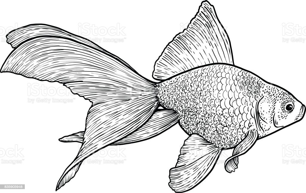 goldfish illustration drawing engraving ink line art vector royalty free