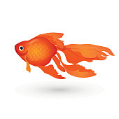 Goldfish isolated on white. Small red aquarium fish.