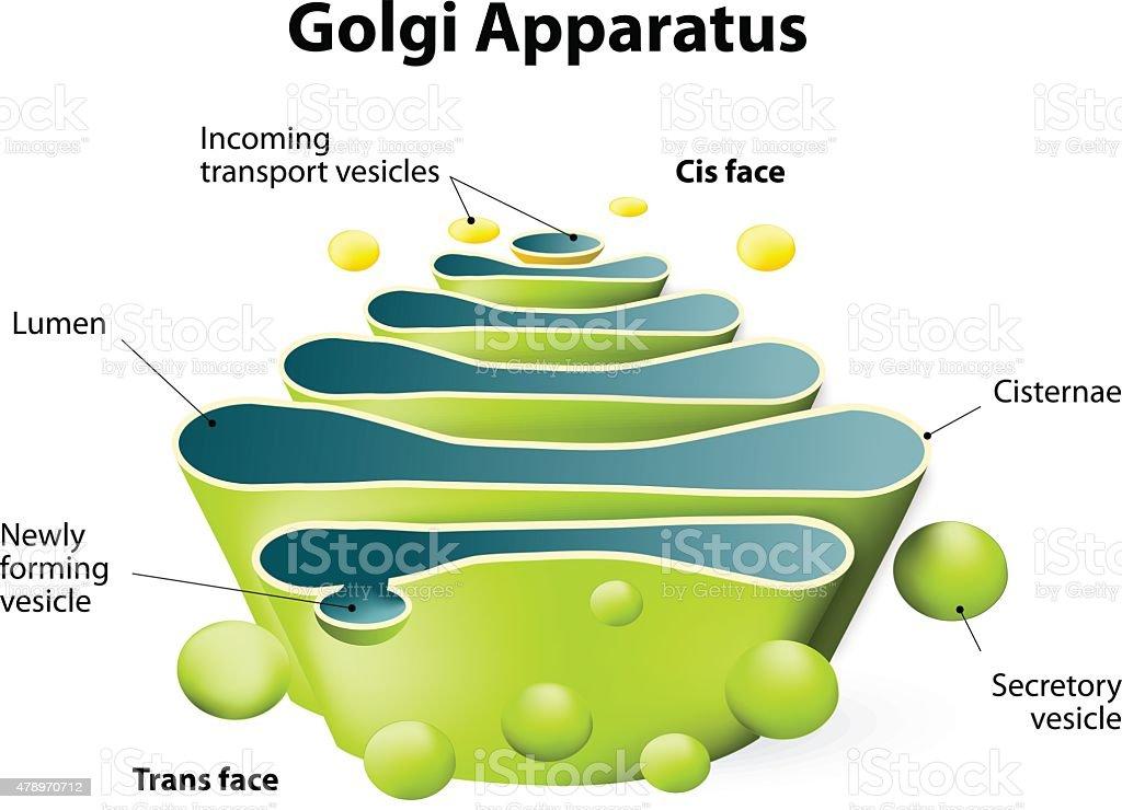 Golgi apparatus or Golgi body vector art illustration
