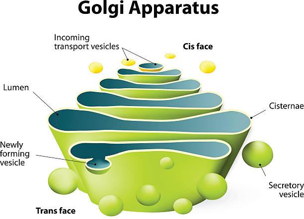 golgi-apparat oder golgi-körper - enzyme stoffwechsel stock-grafiken, -clipart, -cartoons und -symbole
