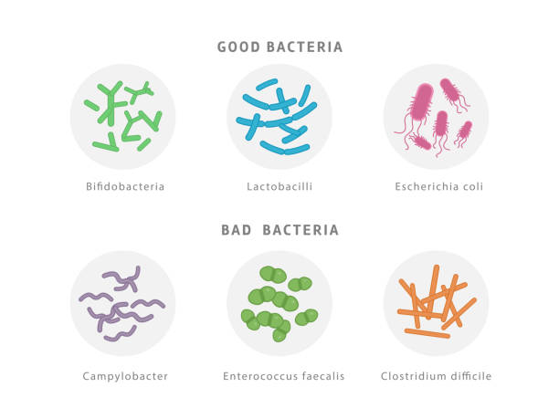 Good and bad bacterial flora icon set isolated on white background. Gut dysbiosis concept medical illustration with microorganisms. Good and bad bacterial flora icon set isolated on white background. Gut dysbiosis concept medical illustration with microorganisms lactobacillus stock illustrations