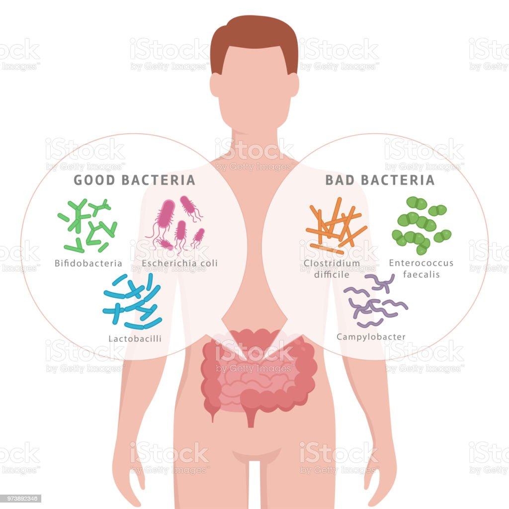 Ilustración de Bacterias Buenas Y Malas Bacterias En Los Intestinos ...