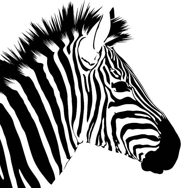 gut looker (vektor - zebras stock-grafiken, -clipart, -cartoons und -symbole