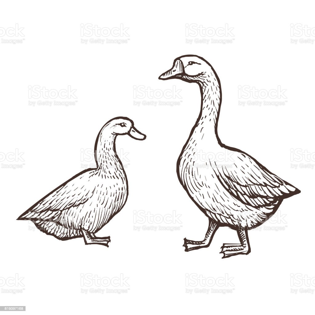 Goose and duck farm animals sketch isolated birds on the white background vintage style illustration
