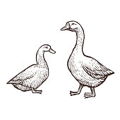 Goose and Duck farm animals sketch, isolated birds on the white background. Vintage style