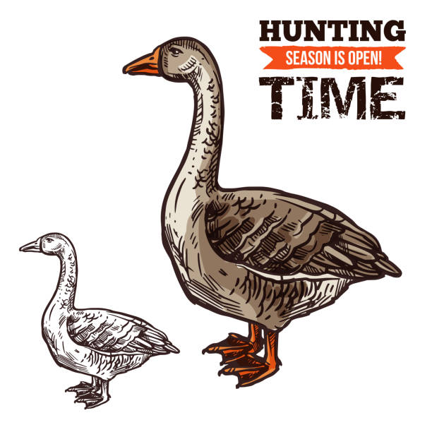 Goose wild bird sketch for hunting sport design Goose wild bird sketch for hunting sport open season. Geese waterfowl bird with gray and brown feather, long neck and red feet isolated icon for hunter club symbol design ducking stock illustrations