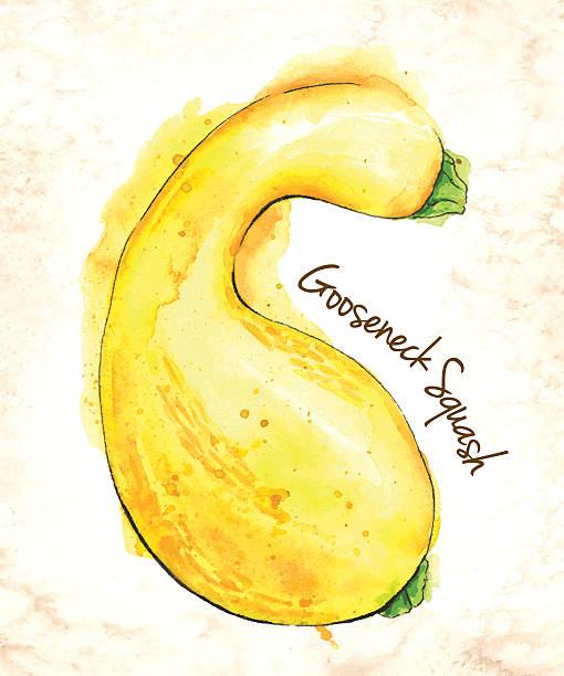 gooseneck squash-vektor-illustration gemalt in aquarell - flaschenkürbis stock-grafiken, -clipart, -cartoons und -symbole